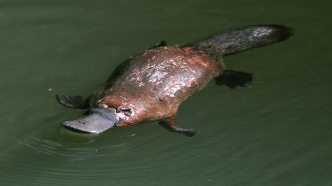 platypus-swimming-closeup.ngsversion.1396530615748