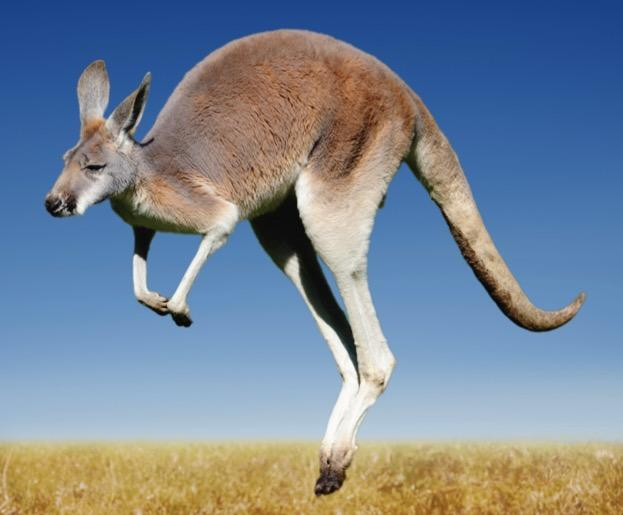 kangaroo_DirkFreder_iStock_623